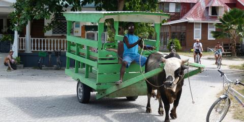 Cow pulling buggy in Seychelles